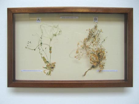 Herbarium with two dried specimen (after the experiment)